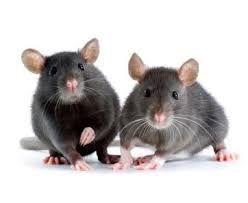 potkan - Hledat Googlem