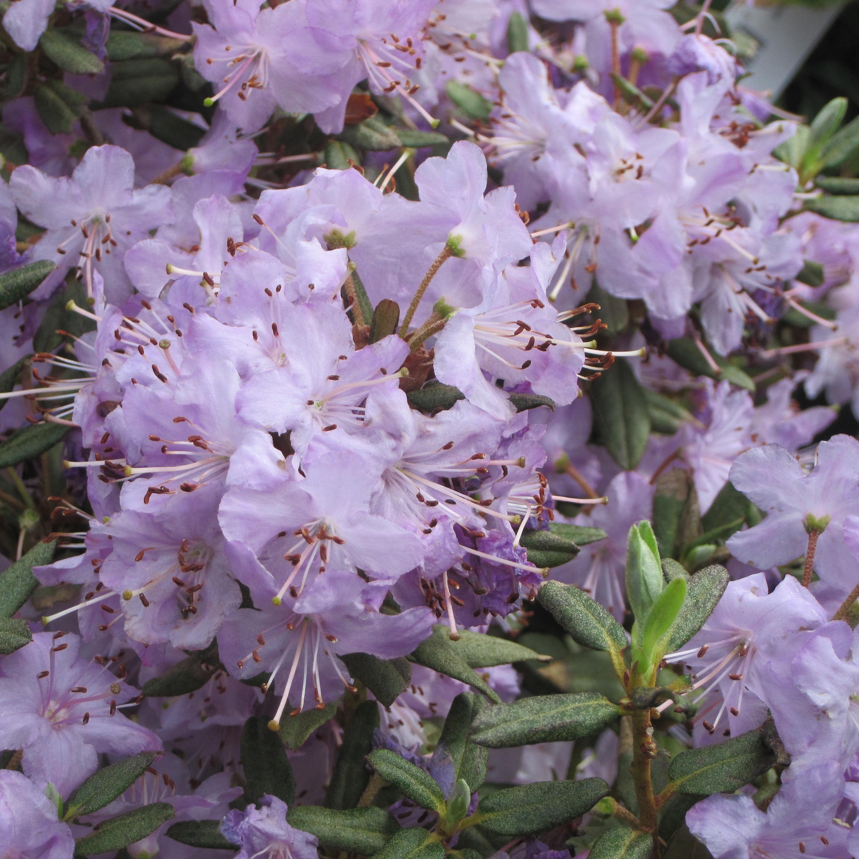Arbuste Nain Persistant Plein Soleil rhododendron nain blue silver - arbuste persistant à
