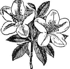 Azalea Clip Art Google Search Flower Drawing Flower Illustration Azalea Flower