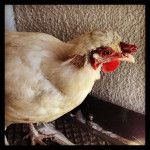 What I Wish I had Known Before Getting Chickens ‹ Community Chickens