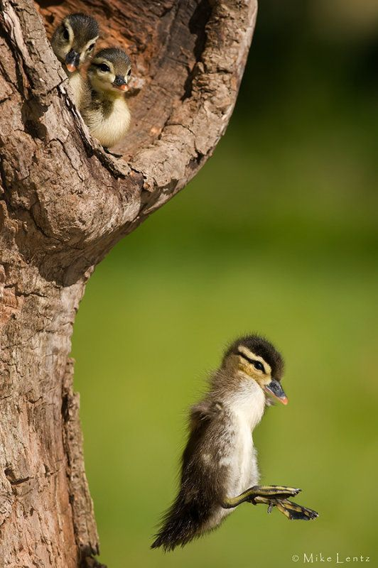 Wood Duck leaving nest cavity by Mike  Lentz