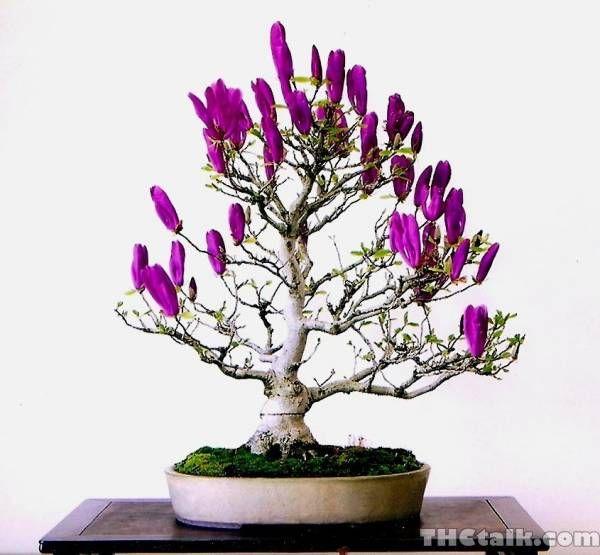 Purple Saucer Magnolia Plantas Bonsai Arboles Bonsai Bonsais