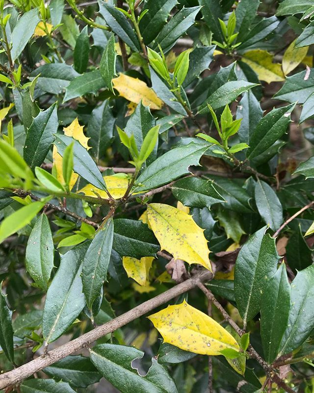 Umdhgicolder Leaves Of Holly And Magnolia Are Turning Yellow And