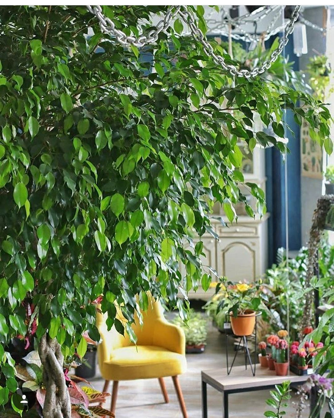 Come Riprodurre Il Ficus Benjamin ficus benjamina (with images) | indoor plants, planting