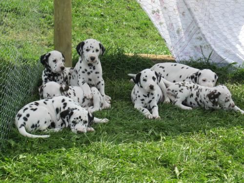 Dalmatian Puppies Male 0 8 Weeks Black Spotted Top Class