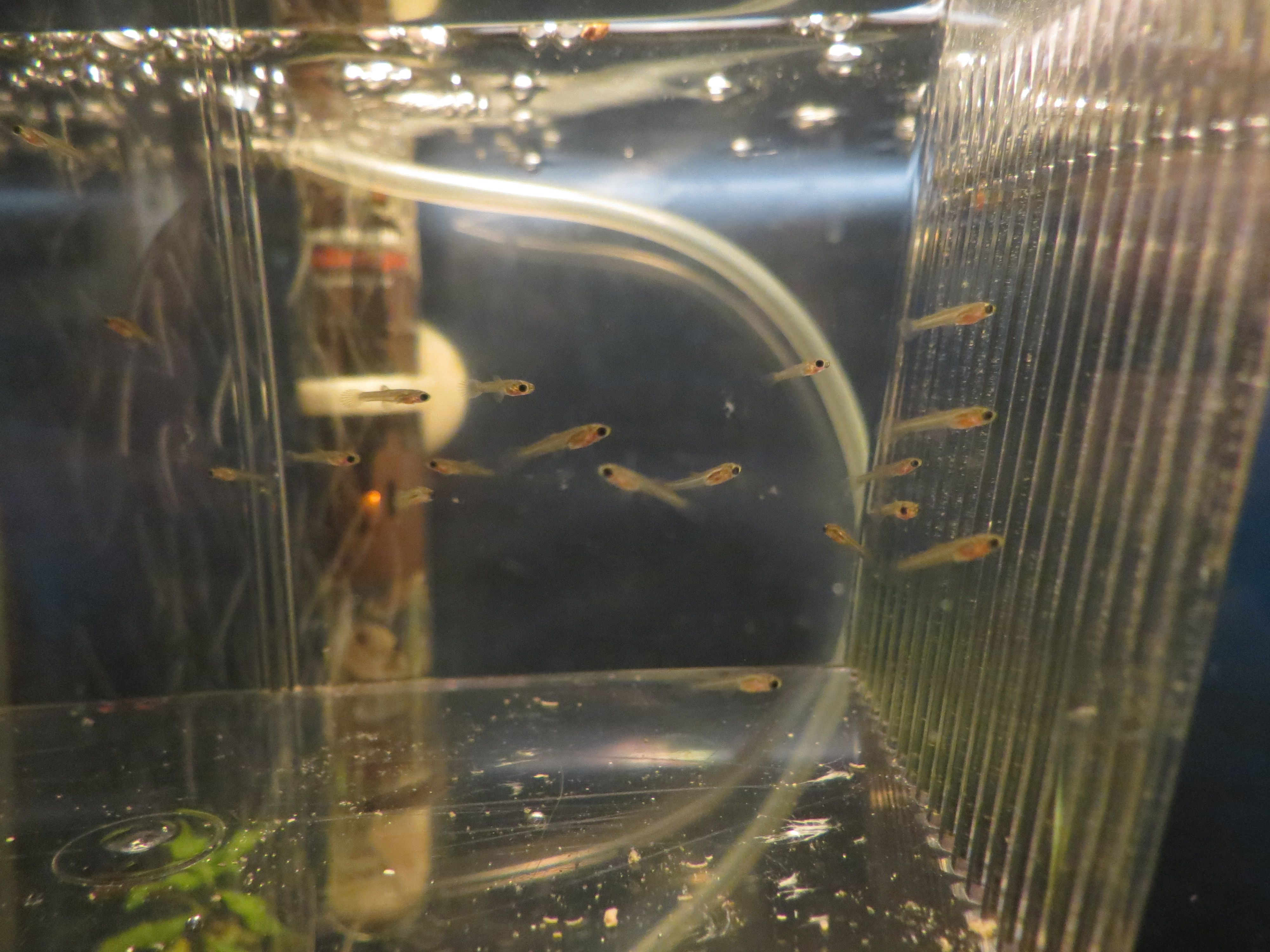 how to tell when guppies are ready to give birth
