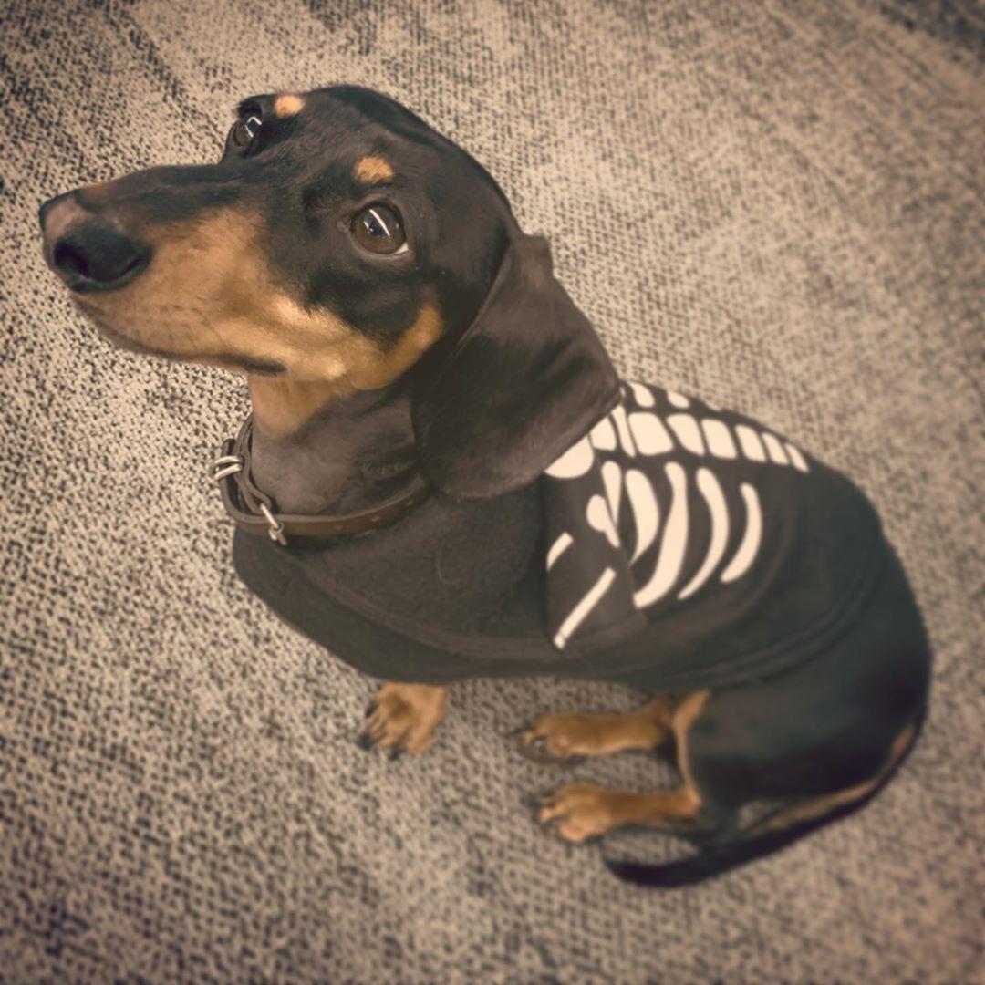 Happy Halloweenie Scarydog Halloween Minaturedachshund Minidachshundsofinstagram Brisbanedachshunds Best Dog Food Puppy Food Brands Scary Dogs