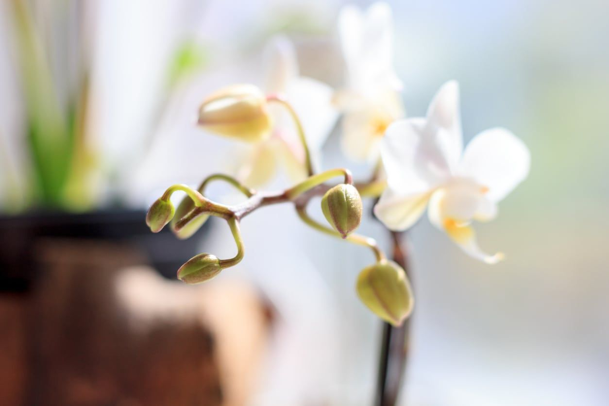 Orchid Buds Dropping How To Prevent Bud Blast In Orchids Growing Orchids Orchid Seeds Orchids
