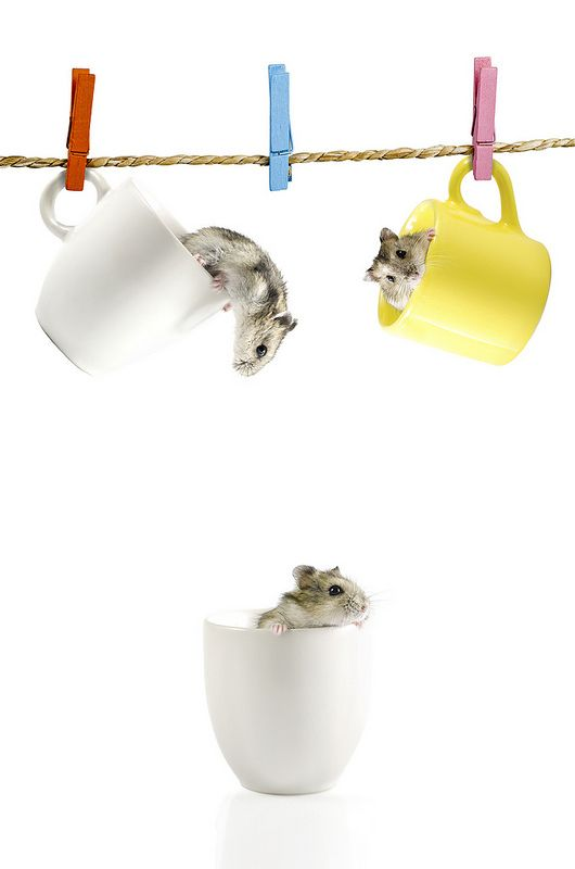 •♥• Cute three  Hamster in cup . Isolated