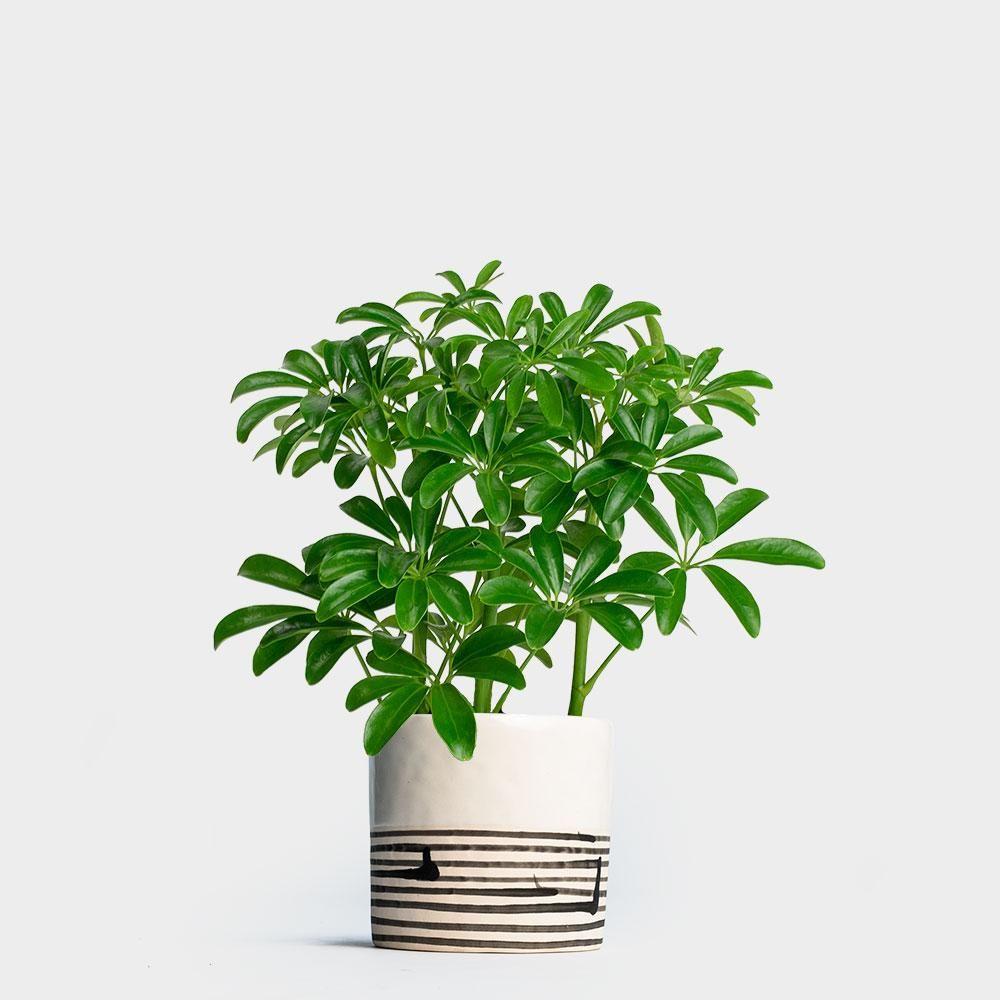 Schefflera arboricola 4 plants umbrella tree plant