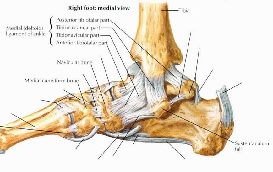 Medial View Ankle Joint Medicine Pinterest Ankle Joint
