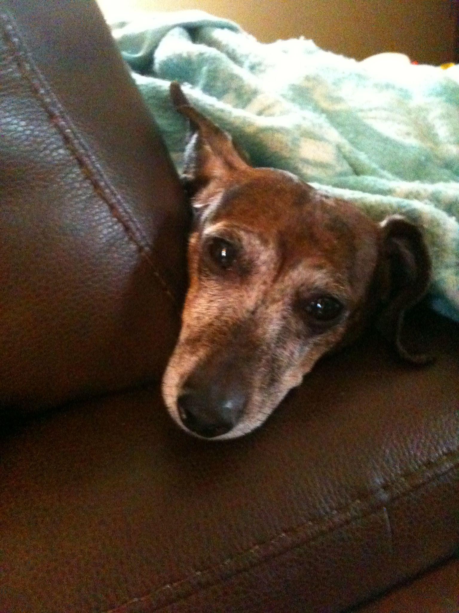 My dachshund | Dachshunds | Dachshund, Dogs, Spoiled rotten