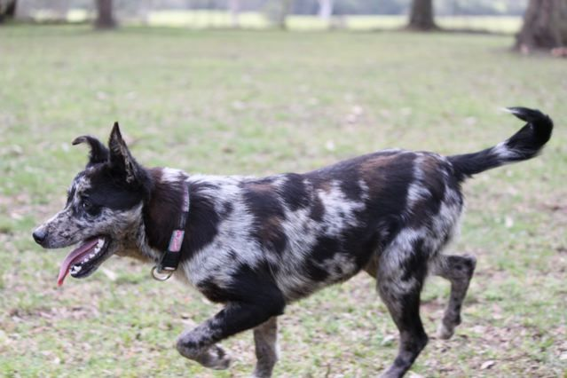 Australian Koolie Dog Photo Blitz Has Been Adopted By A Lovely Family In Victoria And He Is Just Koolie Dog