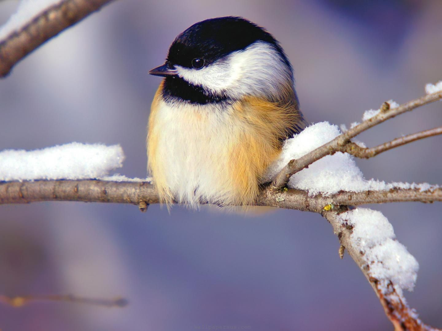 Winter Birds Animals Animal Desktop Wallpapers 1600x1200 Winter Birds Wallpaper Hd Winter Bird Winter Animals