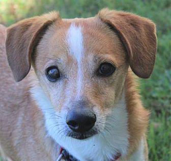 Wichita Ks Cardigan Welsh Corgi Beagle Mix Meet Cooper A Dog For Adoption Https Www Adoptapet Com Pet 19641823 Wichita Corgi Corgi Beagle Mix Corgi Mix