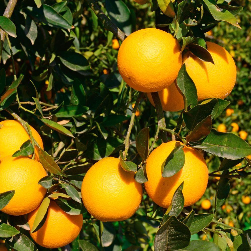 Cara Cara Orange Tree - 1 5 Year Old   Products   Citrus