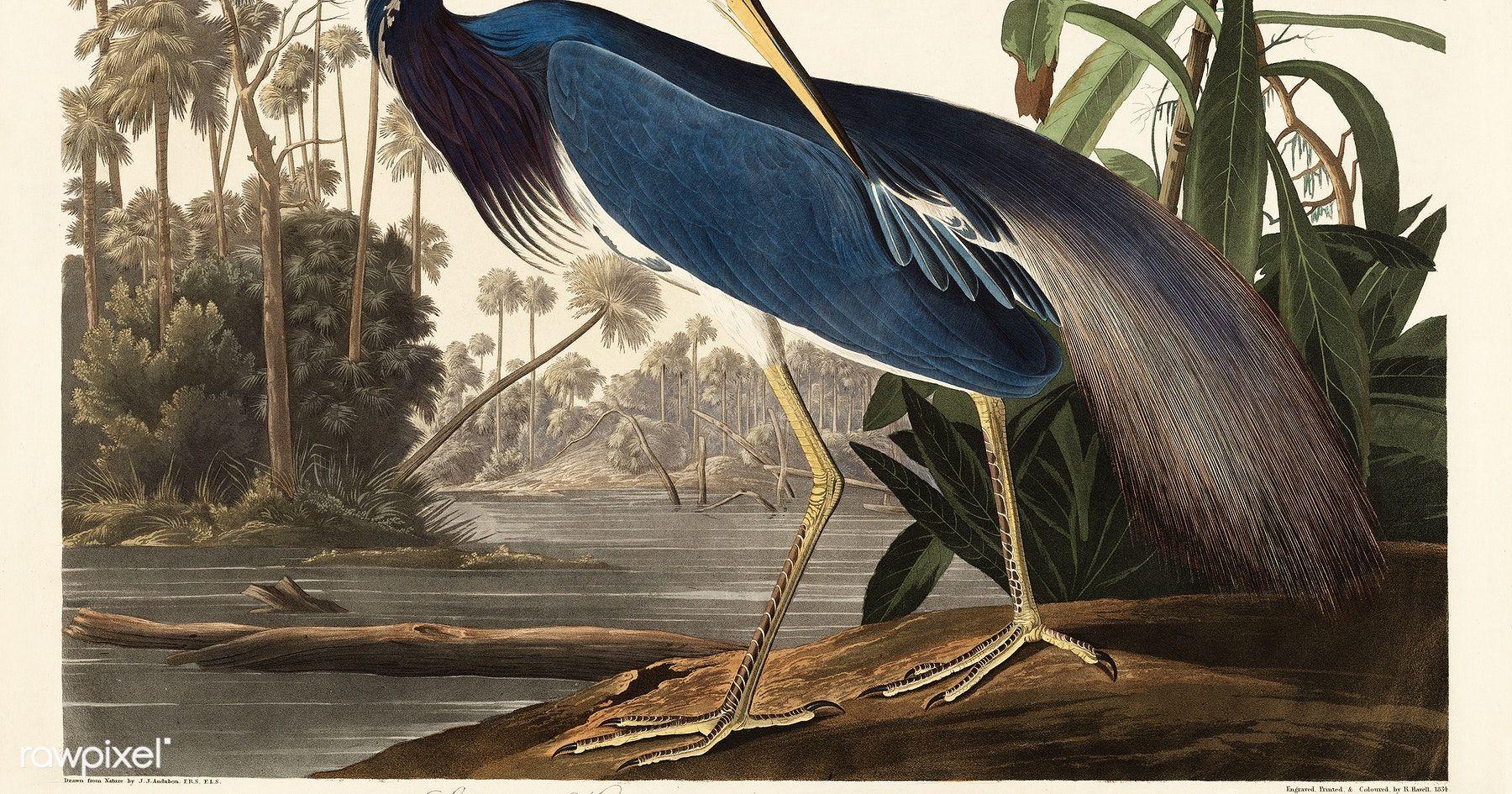 John James Audubon Art Print Birds of America Instant Download Printable Art. Vintage Sea Bird Painting Louisiana Heron