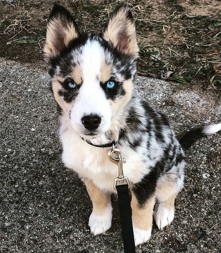 Photo of Australian Shepherd Dog Breed Information Popular Images T