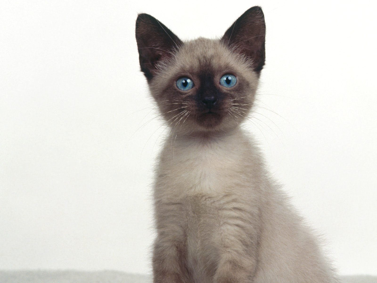 Siamese Cat Siamese kittens, Siamese cats, Cat breeds