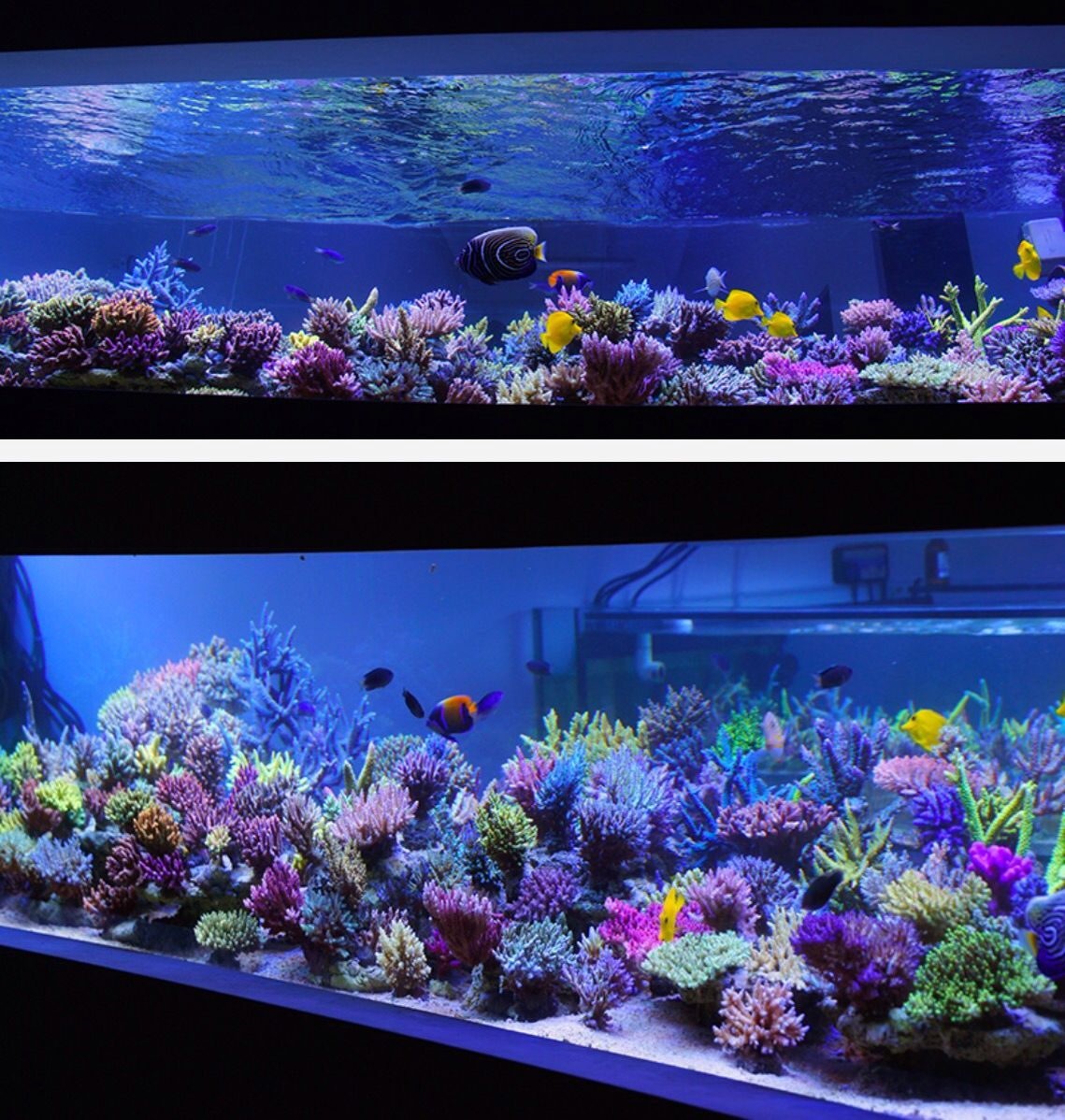 Fantastic Shallow Reef Layout For Sps The Relatively Uniform Height