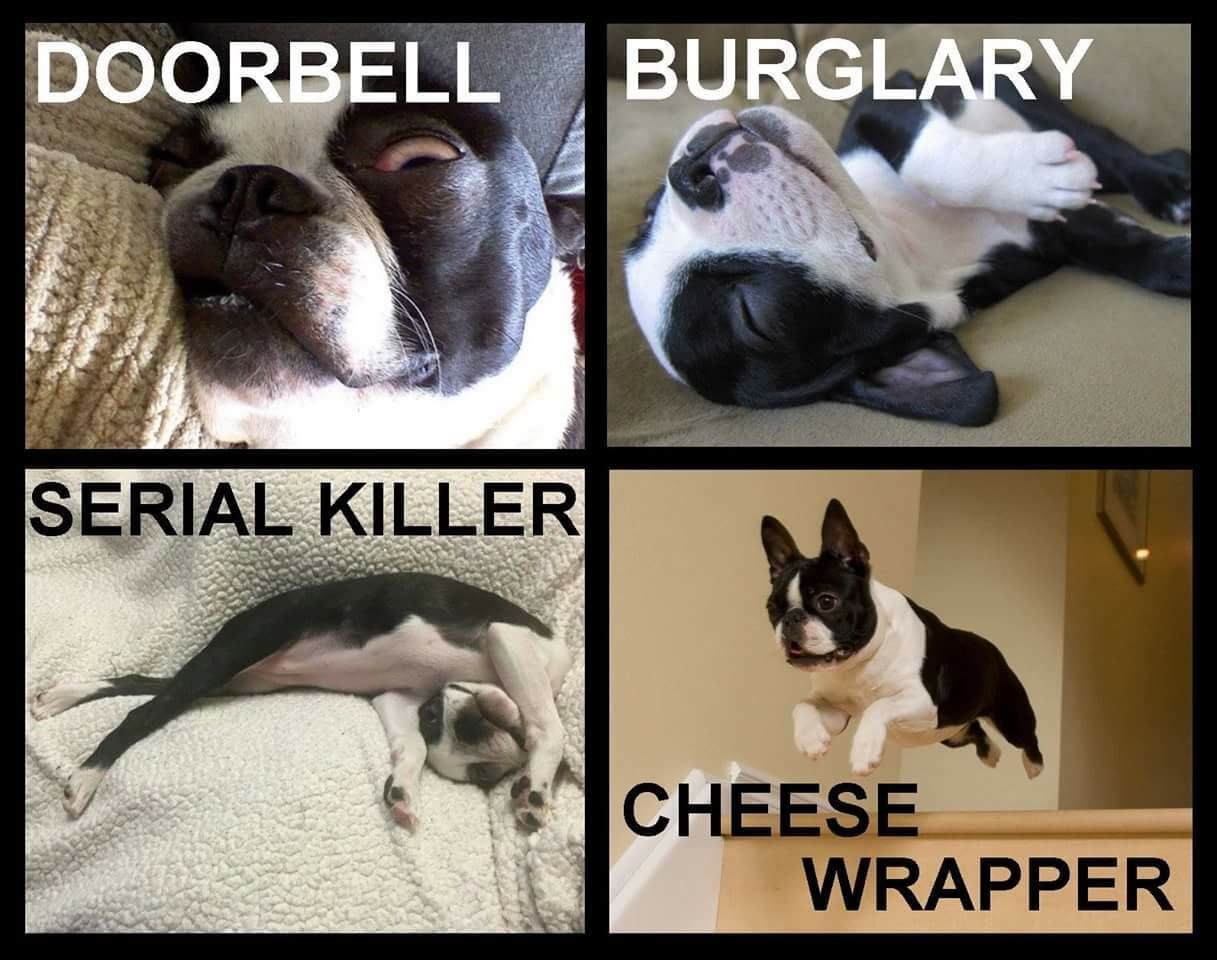 Funny Boston Terrier Dog Pictures