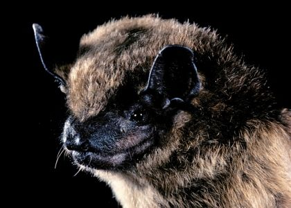 The big brown bat is found in virtually every American habitat ranging from timberline meadows to lowland deserts, though it is most abundant in deciduous forest areas. It is often abundant in suburban areas of mixed agricultural use. This species ranges from extreme northern Canada, throughout the United States and south to the extreme southern tip of Mexico. Traditionally, these bats have formed maternity colonies beneath loose bark and in small cavities of trees.