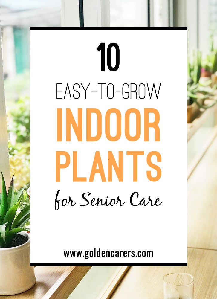 10 EasytoGrow Indoor Plants for the Elderly is part of Indoor plants, Indoor plant care, Easy plants to grow, Plants, 10 easy, Easy plants - Most people enjoy growing indoor plants  Seniors in long term care facilities should be encouraged to immerse themselves in this wonderful hobby! Dozens of inexpensive plant species can blossom inside small rooms and apartments, so long as they are well cared for  In this article we cover Benefits of Indoor Plants There are Plants to Suit Any Position 10 Easy Plants to Grow Indoors Popular Plants Not Suitable for Dementia Care