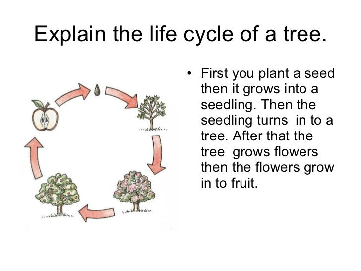 http://image.slidesharecdn.com/explain-the-life-cycle-of-a-tree-1213144207799037-8/95/explain-the-life-cycle-of-a-tree-1-728.jpg?cb=1213…    Life cycles, Life, Cycle