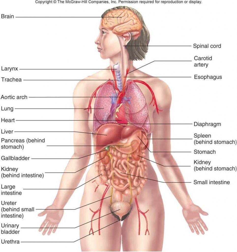 Diagram Of Internal Abdominal Organs Gallery  Internal