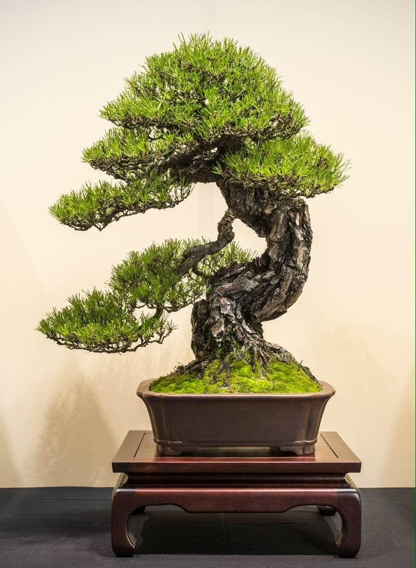 Pine bonsai by jp polmans bonsai art nature trees for Famous bonsai trees