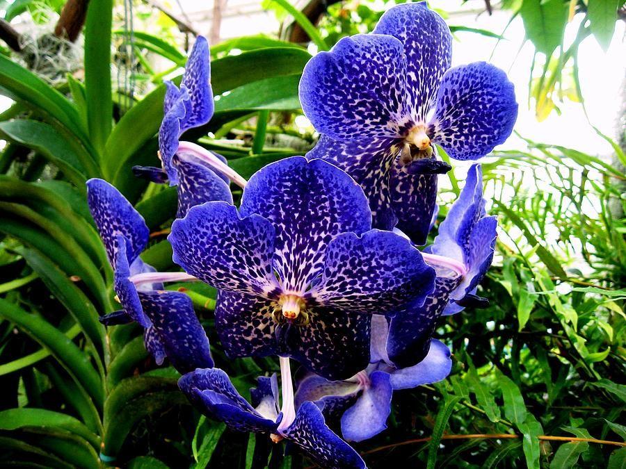 Blue Orchid By Luis And Paula Lopez Blue Orchids Blue Orchids Plant Orchid Plants For Sale