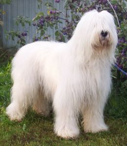 White Russian Dog Russian Dogs Best Dogs For Families Dogs
