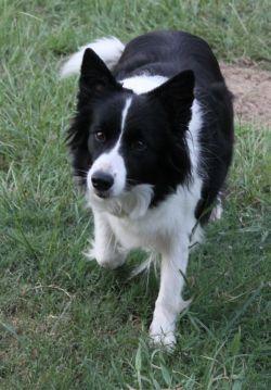border collie breeder - gforce   http://www.gforcebordercollies.com/