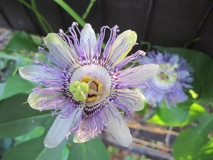 Passion Flower vine. I had this growing all over the fence