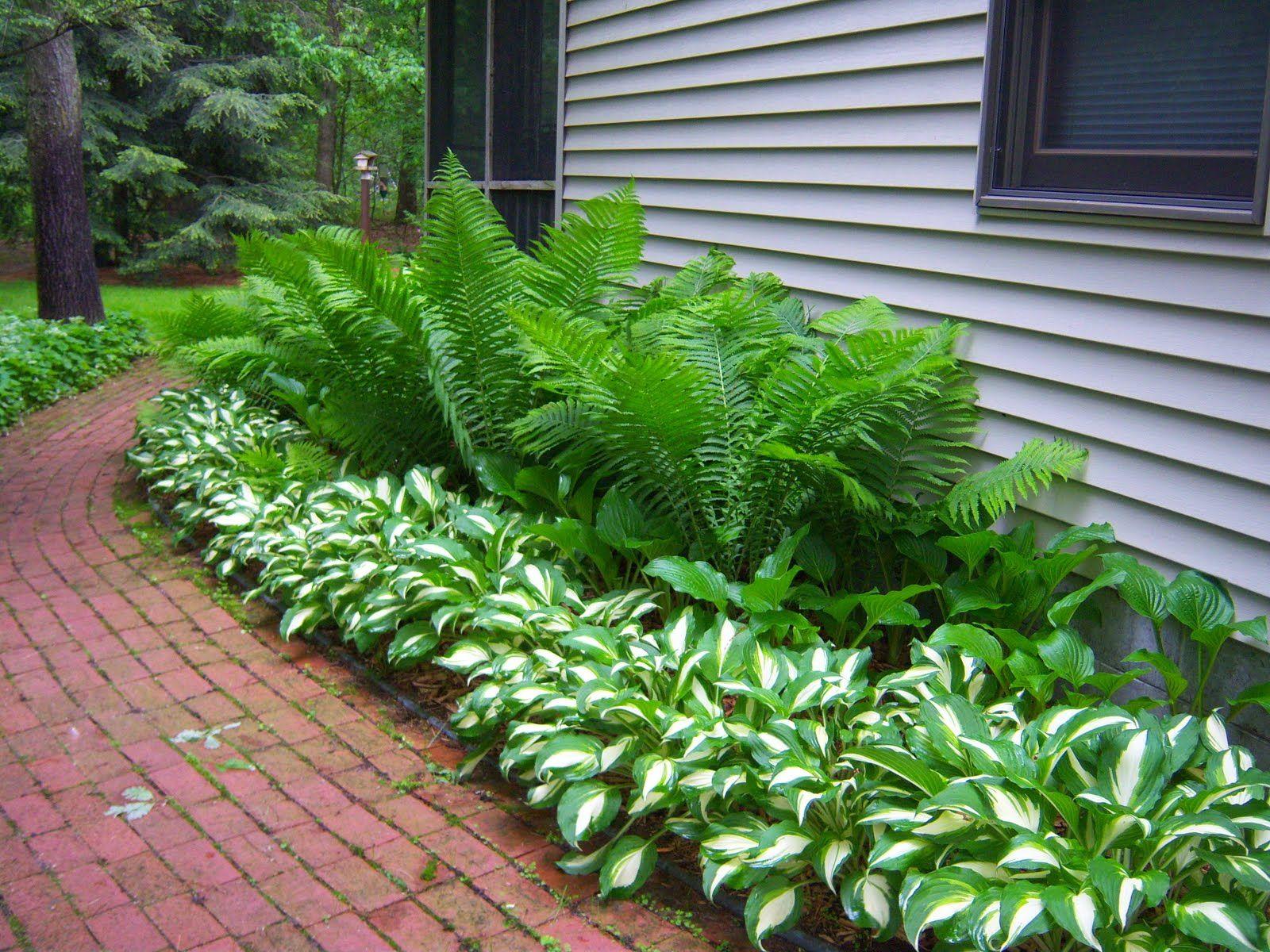 Yksinkertaista ja kaunista kotkansiipisaniainen ja for Images of landscaping plants