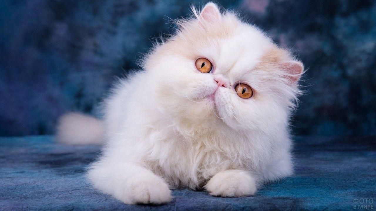 доме кот перс картинки черно-белые среднее фото
