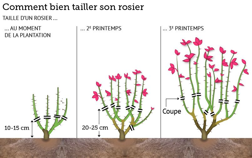 Au jardin ce week end vos s cateurs rosier - Comment entretenir un rosier ...