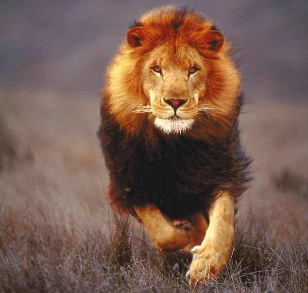 صور اسد Lion صور اسود خلفيات Hd Lion Spirit Animal Lion Pictures Lion Symbolism