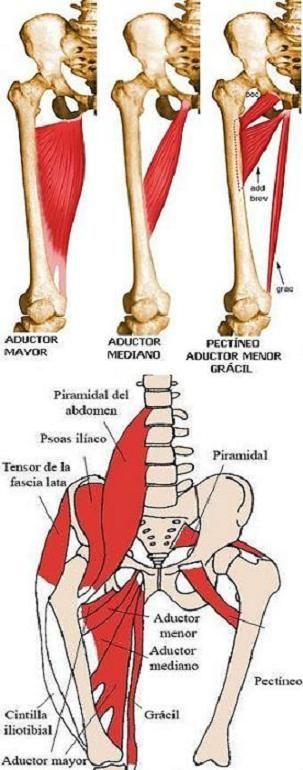 Músculos pélvicos y de cadera y pierna: origen, inserción y acción ...