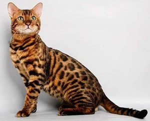 Bengal cat with tiger markings