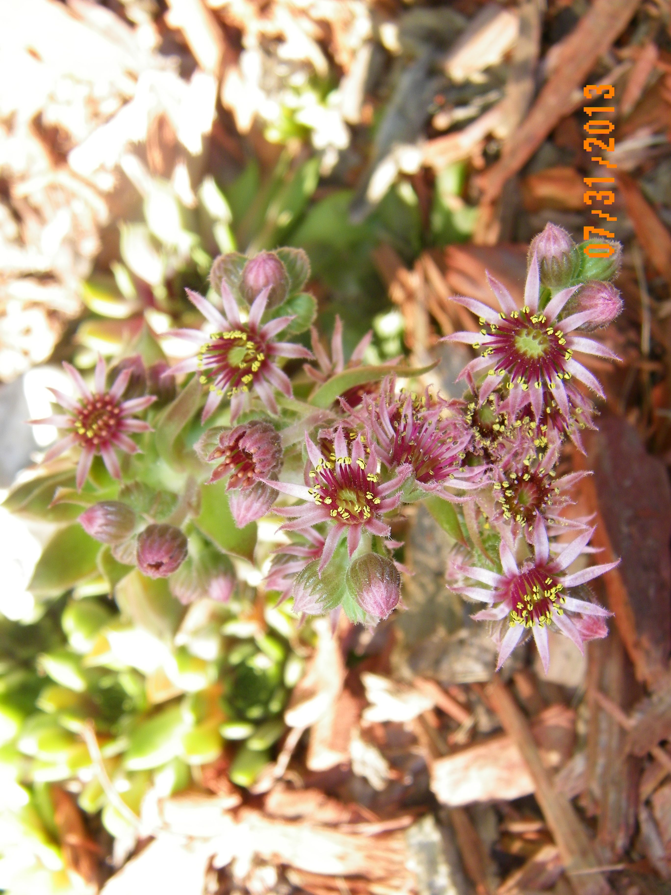 Hen chicks flowering hens and chicks flowers succulents