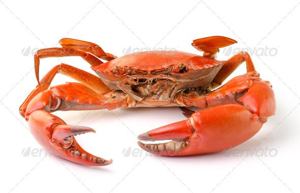sea crab isolated on white background animal background closeup crab crustacean decapod edible flower food invertebrate isolated manna