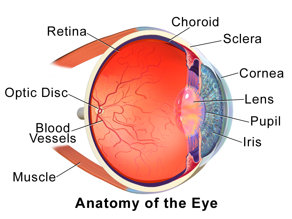Schematic Cross Section Of The Human Eye Choroid Is Shown In Purple Description From En Wikipedia Org I Search Eye Anatomy Muscle Anatomy Diagram Of The Eye