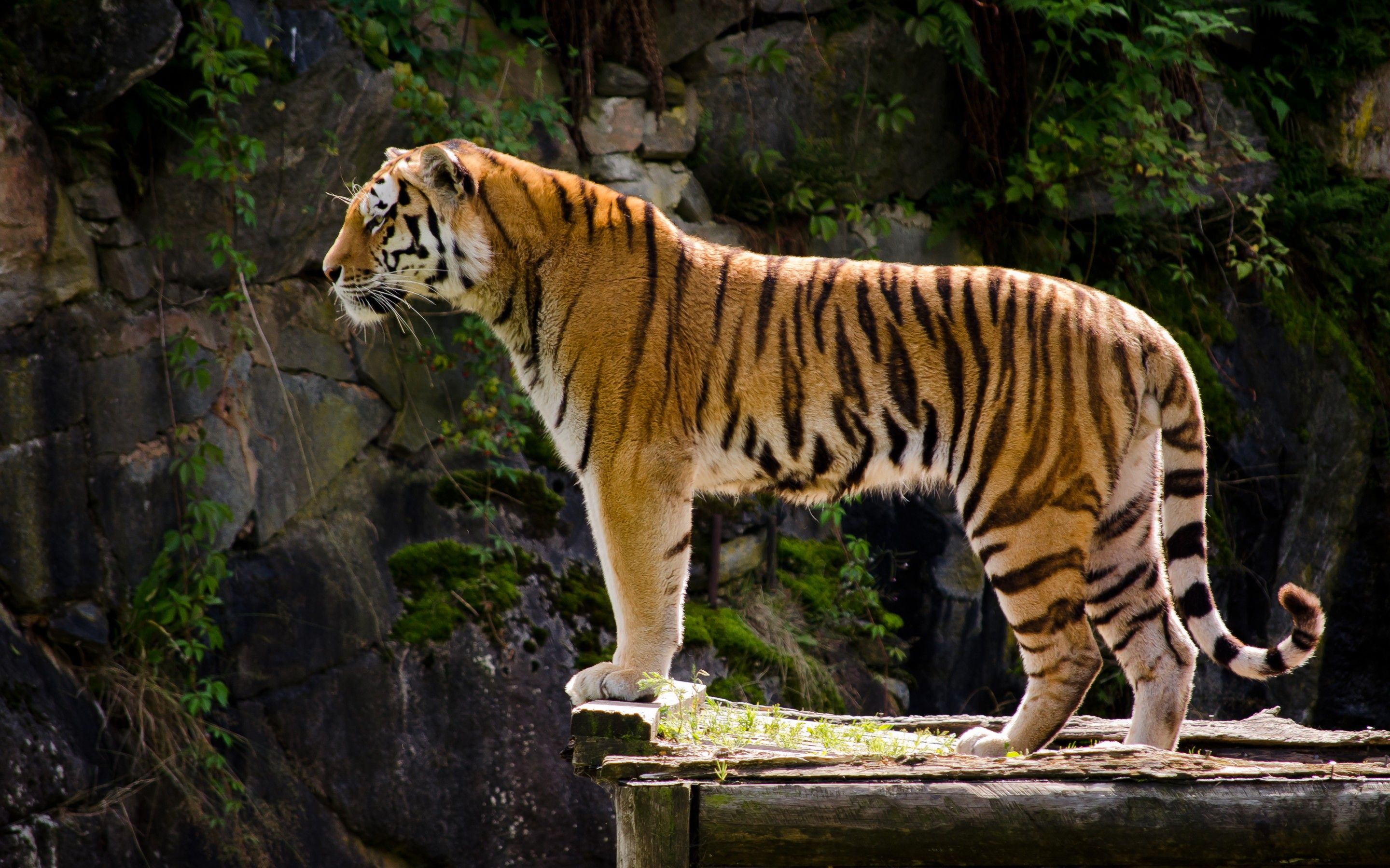Tiger Profile - Google Search