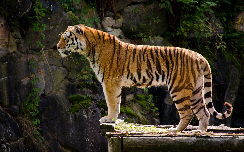 tiger profile Google Search Tiger photography, Tiger