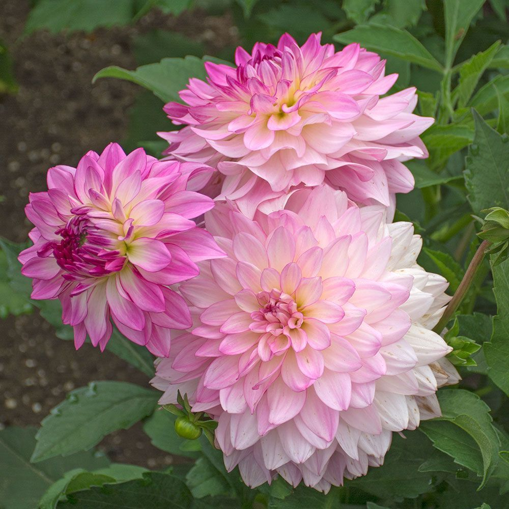 Dahlia Sincerity White Flower Farm Growing Dahlias Beautiful Flowers