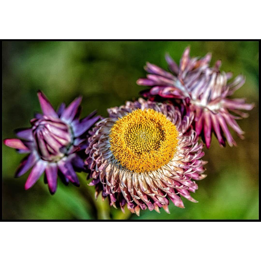 Paper Daisies . . . . . . #paperdaisy #macroandflowers #macro_kings #gardeningaustralia #gardeninglife #macro_flower #macro_flower_passion #igerscanberra #sofranksocial #thiscanberranlife #visitcanberra #canberratimes #canberrabotanicalgardens #fujixaus #fujicameraaus #fuji_xseries #fujicolor #fujiaddict #fujixf80mm #fujifilm_global #fujifeed #fujiholics #fujixpro2