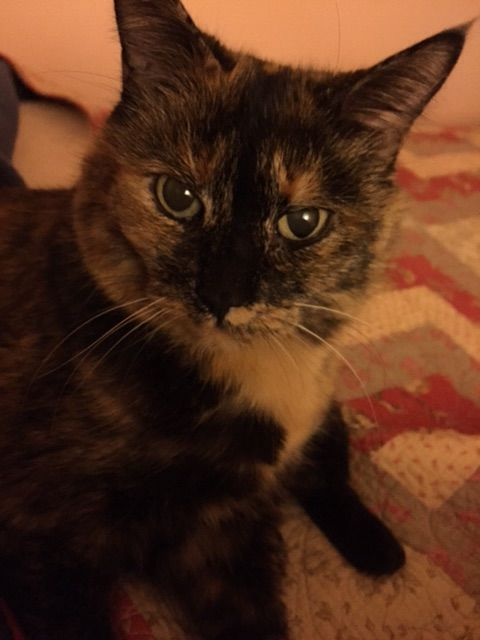 Calico Cat With Interesting Gps >> Lost Calico Cat With Black Tan Orange Mixed Coloring Mostly Dark
