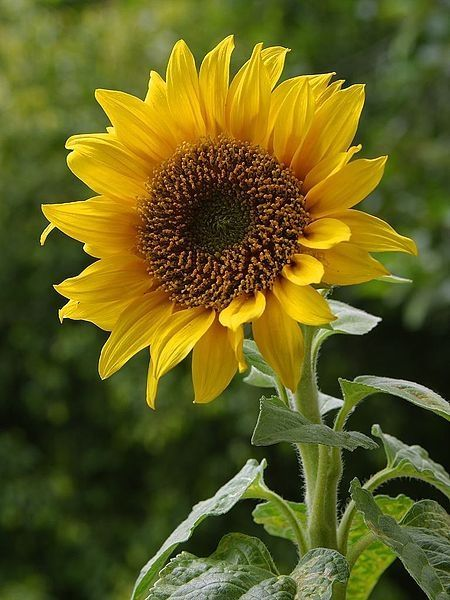 404 Squidoo Page Not Found Sunflower Pictures Sunflowers And Daisies Sunflower