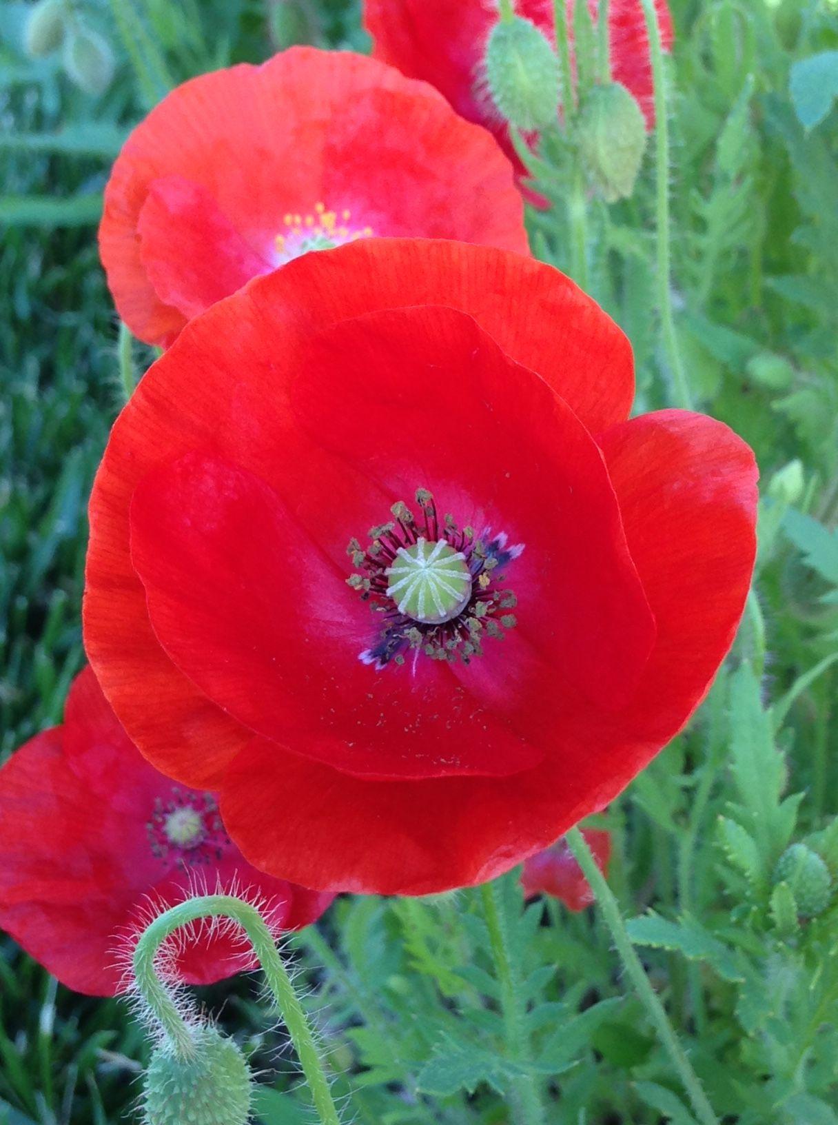 Pin Von Nini Three Auf Red Poppy Mohnblume Mohn Blumen